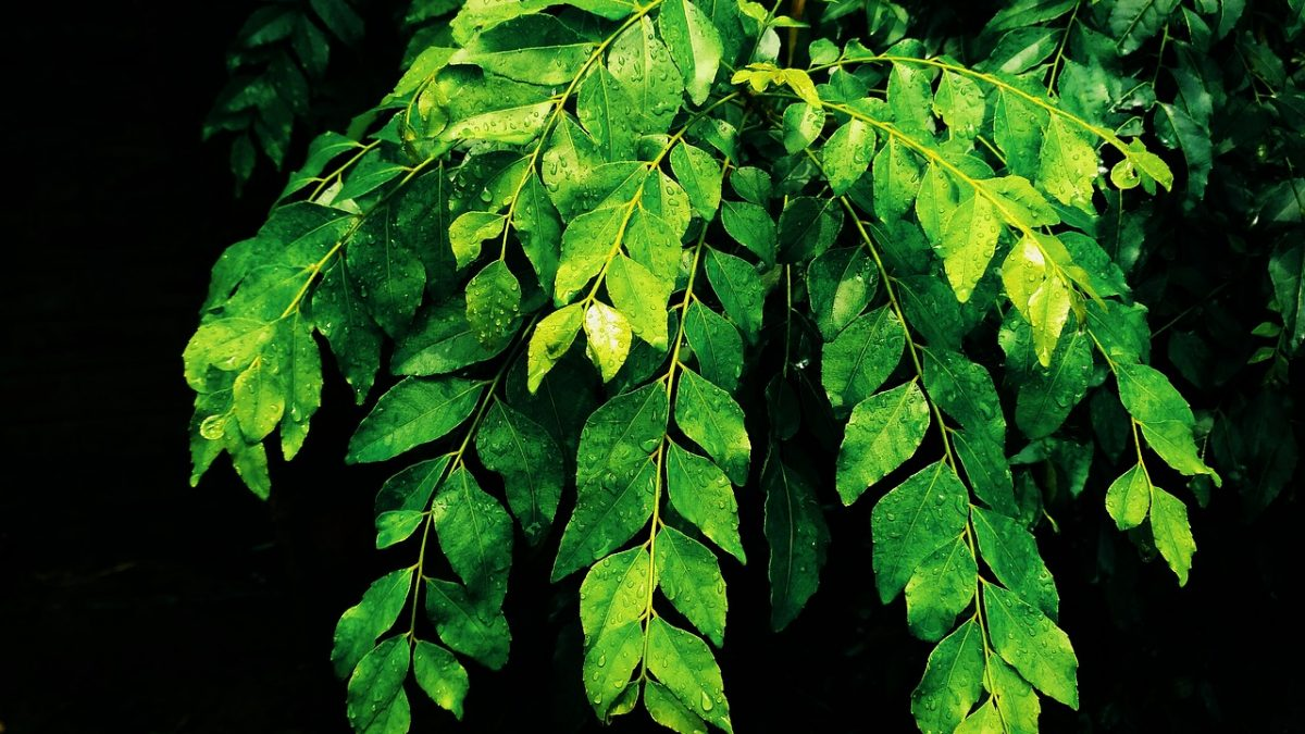 Curry Leaves – What are its Properties, Benefits, And Uses